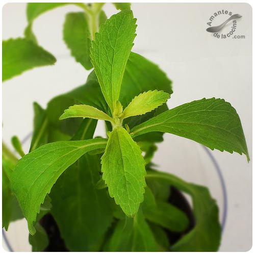 Stevia o Estevia - Sustituto del azúcar - Planta